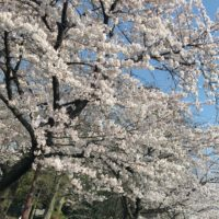 iPhone 撮影 桜